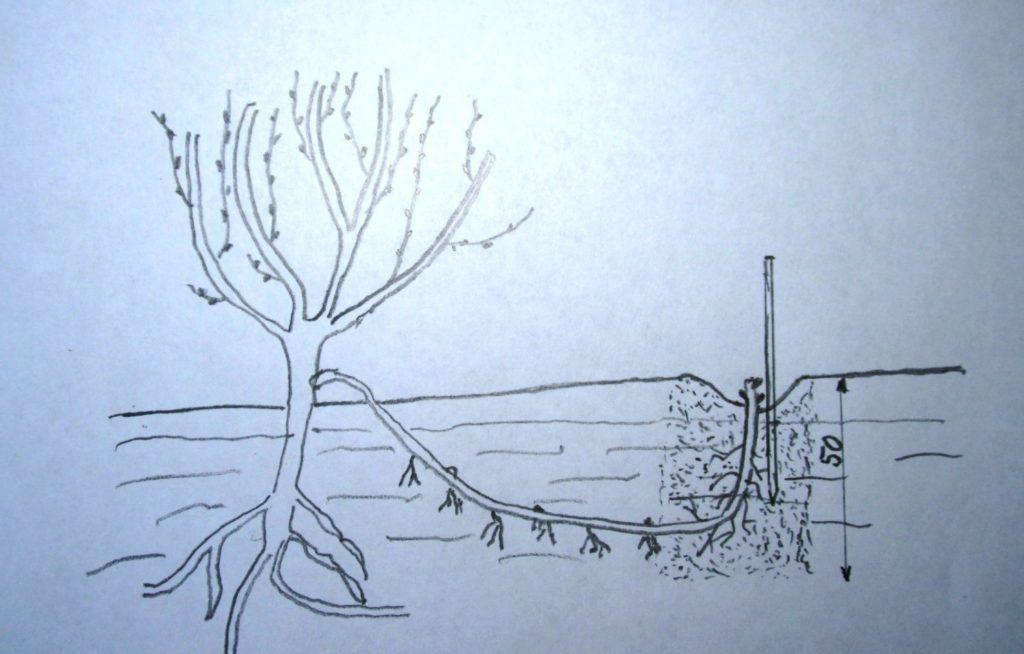Размножение винограда отводками